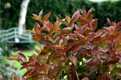 Image 1 - Weigela ´Wings of Fire´