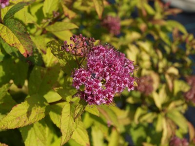 Spiraea japonica ´Golden Princess´