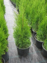Thuja occidentalis ´Smaragd´ 50(60)-70cm