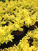 Berberis thunbergii ´Golden Carpet´
