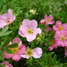 Potentilla fruticosa ´Pink queen´