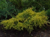 Juniperus x media ´Golden Saucer´