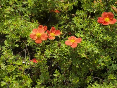 Potentilla fruticosa ´Red Ace´
