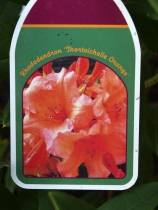 Rododendron - Thortoichelle Orange