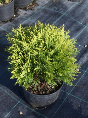 Thuja occidentalis ´Danica´