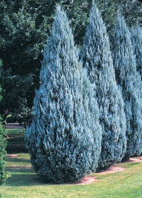 Juniperus scopulorum ´Moffat Blue´