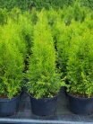 Thuja occidentalis ´Smaragd´ 50-70cm