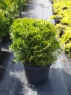 Thuja occidentalis ´Recurva Nana´