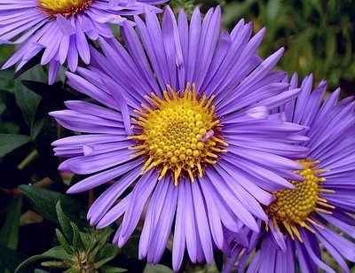 Aster novi-belgii ´Magic Purple´ - Astra, hvězdnice