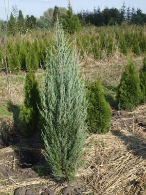 Juniperus scopulorum ´Blue arrow´