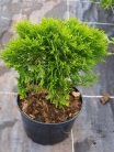 Thuja occidentalis ´Globosa´