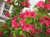 Weigela florida ´Lucifer´