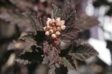 Physocarpus opulifolius ´Little Devil´ ®