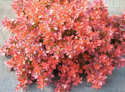 Berberis thunbergii ´Admiration´®
