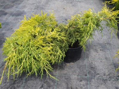 Juniperus x media ´Gold Star´
