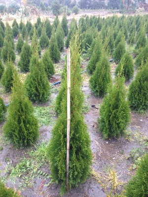 Thuja occidentalis ´Smaragd´ 80-100cm