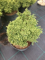 Chamaecyparis pisifera ´Golden Zwerg´