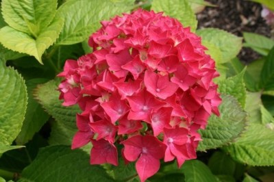 Hydrangea macrophylla Forever&Ever® ´Red´