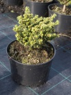 Picea abies ´Little gem´