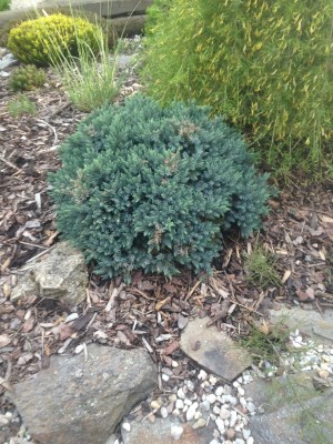 Juniperus squamata ´Blue Star´