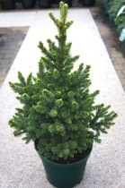 Picea abies ´Will´s Zwerg´