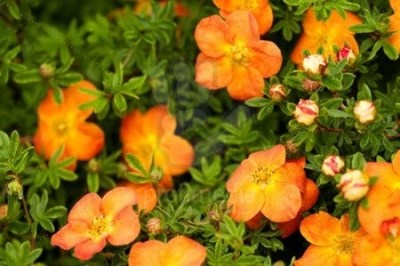 Potentilla fruticosa ´Hopley´s Orange´