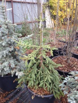 Picea abies ´Rothenhaus´