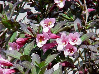 Weigela florida ´Ruby Queen´
