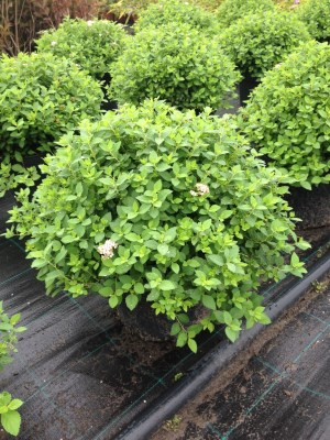 Spiraea japonica ´Little Princess´