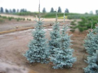 Picea pungens ´Kosteri´