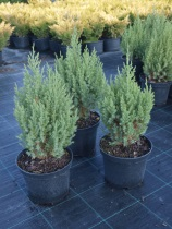 Juniperus chinensis ´Stricta´