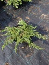 Juniperus communis ´Green Carpet´