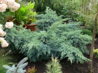 Juniperus squamata ´Blue Sweden´