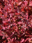 Berberis thunbergii ´Red Rocket´