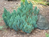 Juniperus sabina ´Blue Forest´
