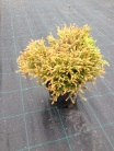 Thuja occidentalis ´Golden Tuffet´