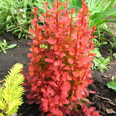 Berberis thunbergii ´Orange Rocket´®