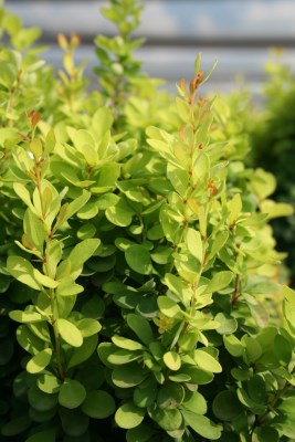 Berberis thunbergii ´Golden Rocket´ (r)