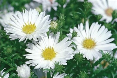 Aster novi-belgii ´Magic White´ - Astra, hvězdnice