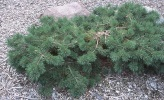 Pinus sylvestris ´Hillside Creeper´
