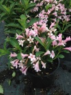 Weigela florida ´Piccolo´