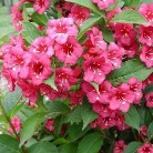 Weigela florida ´Bristol Ruby´