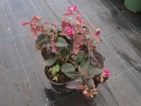 Loropetalum chinense ´Fire Dance´